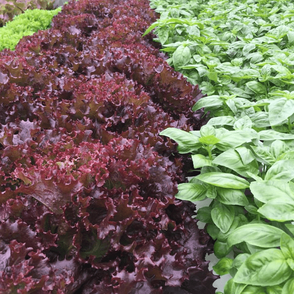 Gorgeous lettuce and basil growing at Dassi Family Farm.