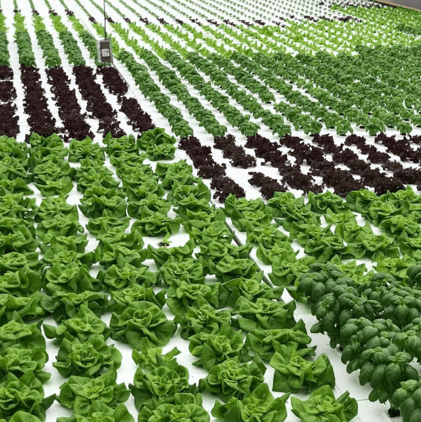 Woah, that's a lot of lettuce! -Dassi Family Farm