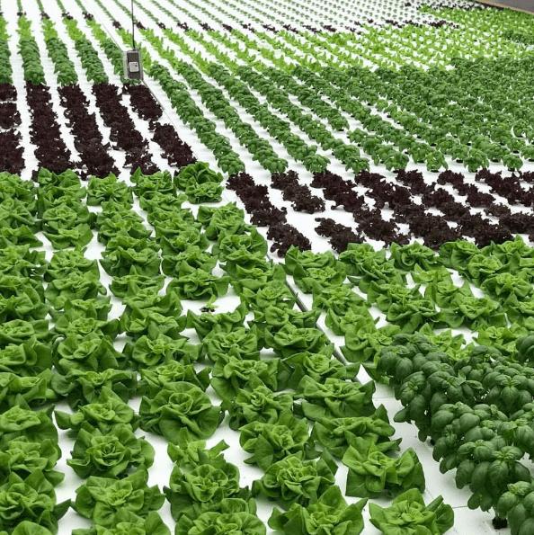 Woah, that's a lot of lettuce! -Dassi Family Farm