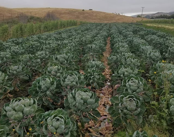 Brussels sprouts growing at Gaytan Family Farm.