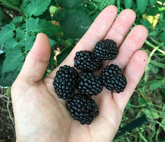 hand full of blackberries - 5 amazing health benefits of blackberries